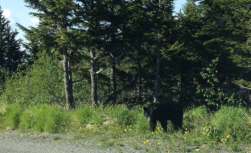 Mr. Black Bear makes an Appearance [VIDEO]